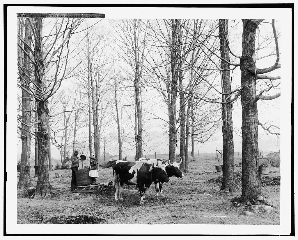 """Bringing in the sap in a maple sugar camp""; Detroit Publishing Co.; between 1900 and 1906; courtesy of Library of Congress"