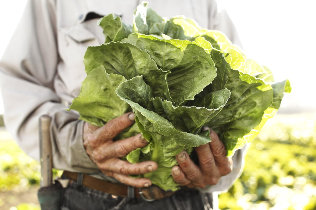 Organically farmed lettuce